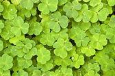zelený jetel