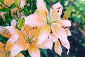 Fotografie lilie zahradní