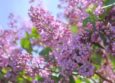 Fragrant lilac bush