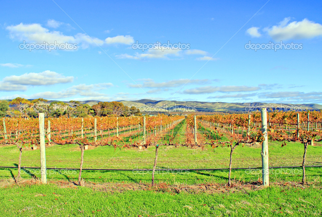 Winery Grape Vines in Autumn Colours