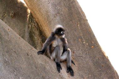 Dusky Leaf Monkey - Isolated on White