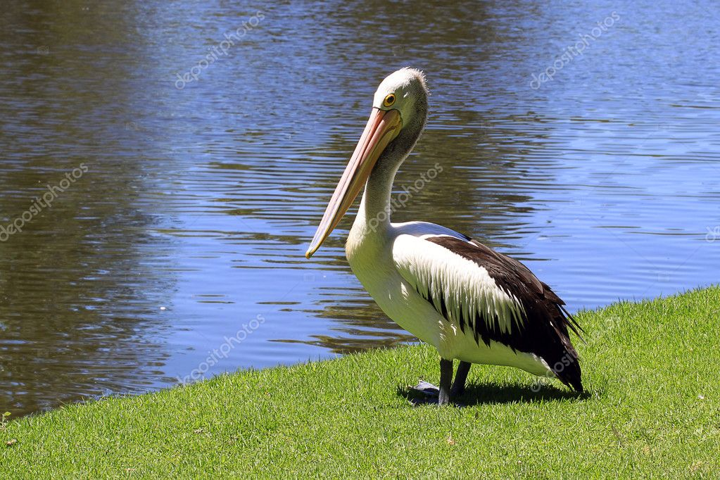 Australian Pelican along a River bank