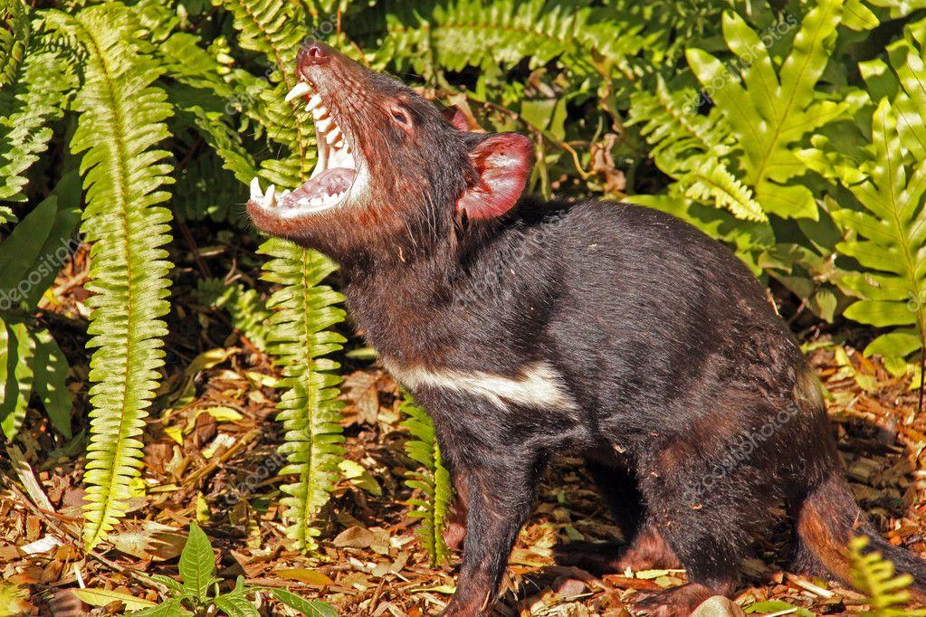 Tasmanian Devil growling