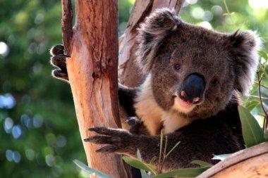 Victorian Koala in Eucalyptus Tree