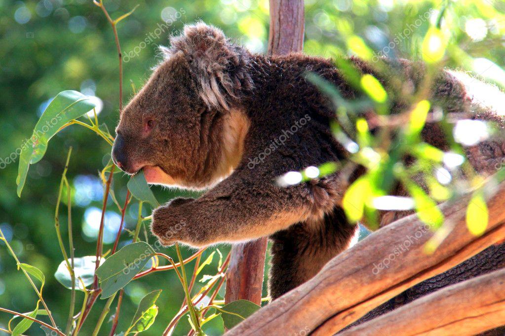 Koala eating leaves in Eucalyptus Tree