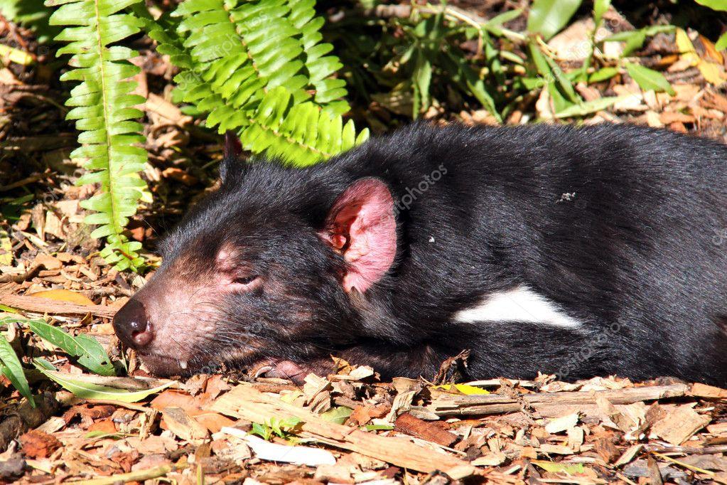 Tasmanian Devil basking in the Sun