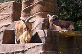 Three Barbary Sheep - Ammotragus lervia