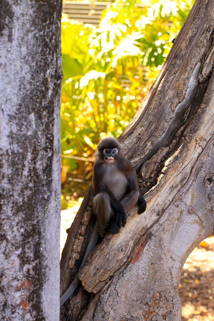 Dusky-Leaf Monkey in Tree