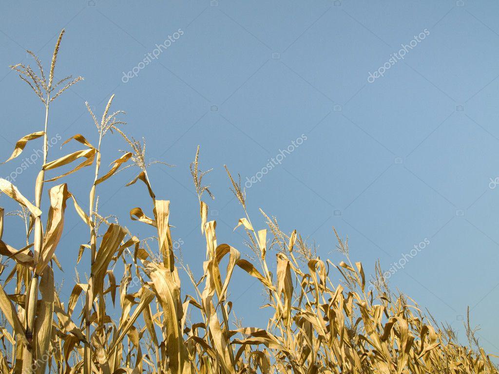 Corn crop at summer