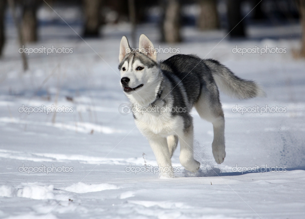 Big White Sled Dogs
