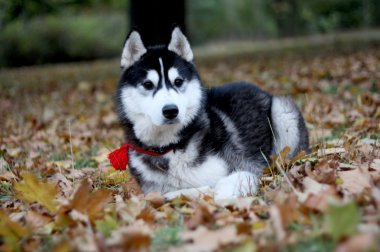 Portrait of siberian husky in autumn