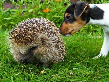 Hedgehog and jack russel