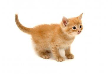 Cute ginger kitten isolated on white