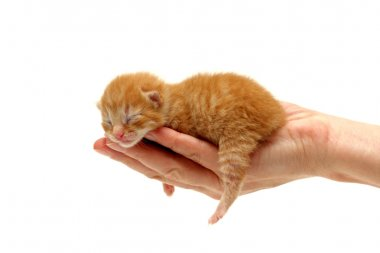Red kitten in hand isolated on white