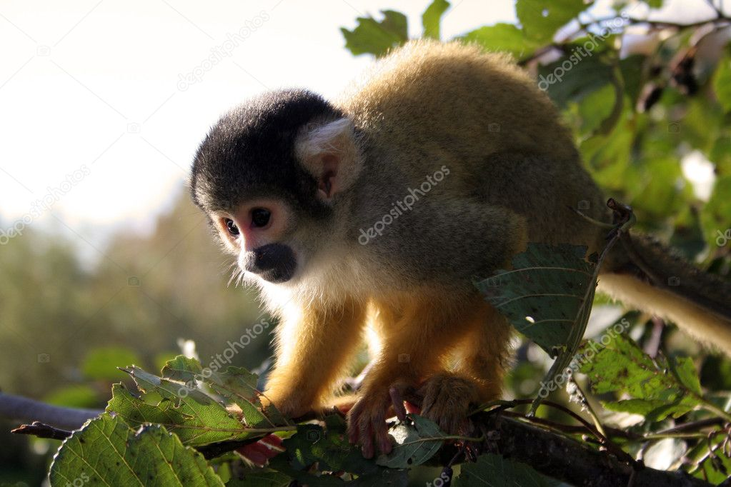 SquirrelMonkey3
