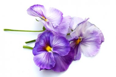 Spring Purple Pansies on White