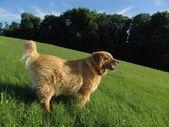 Kutya a fű