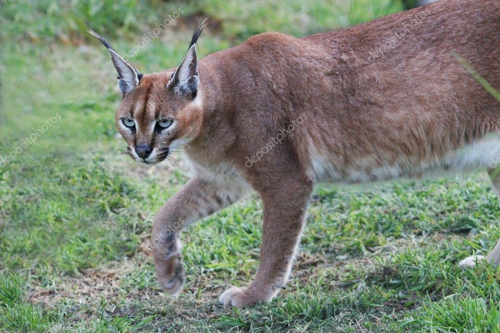 Dziki Kot Karakal Zdjęcie Stockowe Fouroaks 2273892