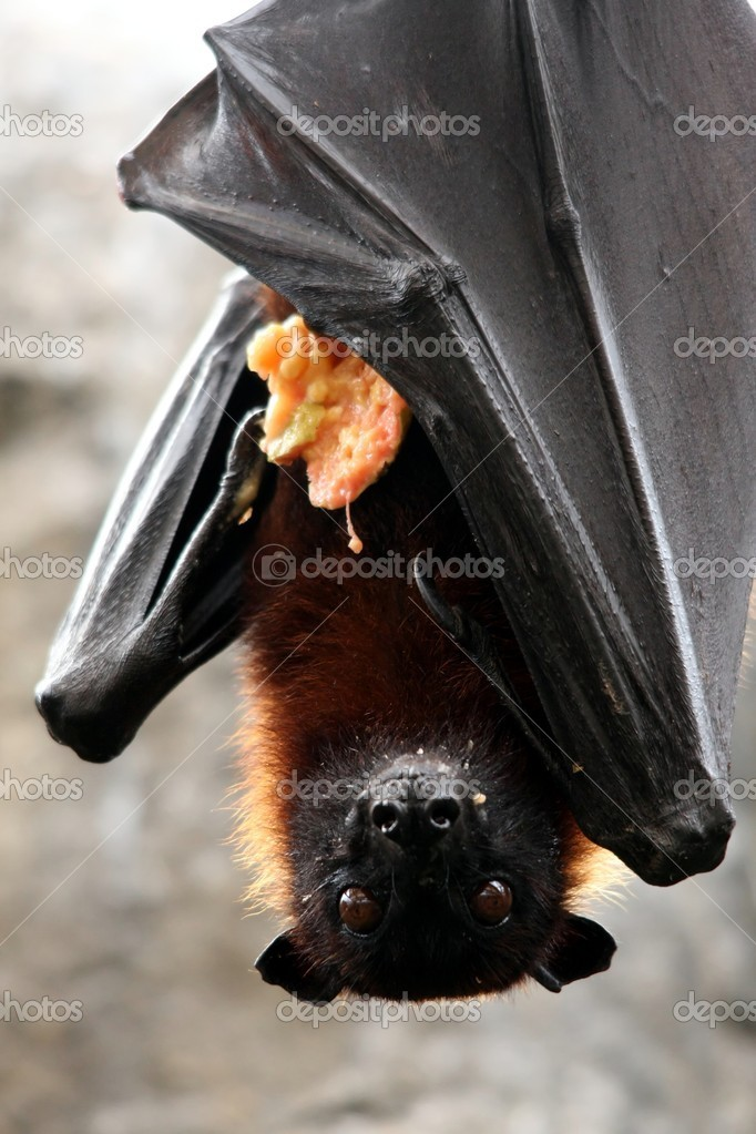 Fruit Bat with Food