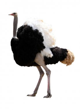 Male Ostrich Isolated