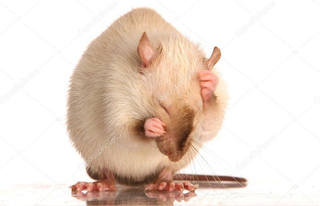 Pet Rat Grooming