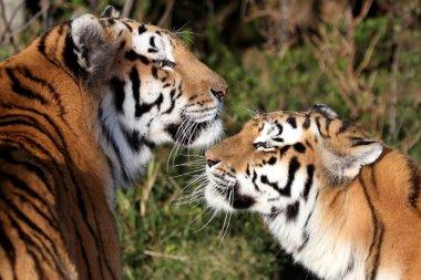 Tiger Pair