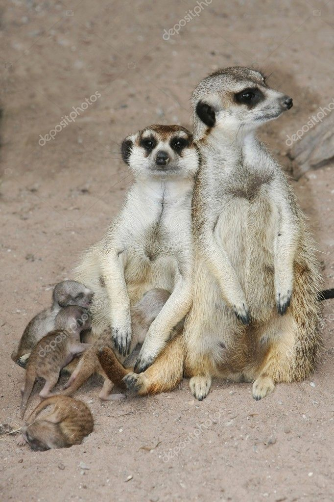 Meerkat Family with Young Babies