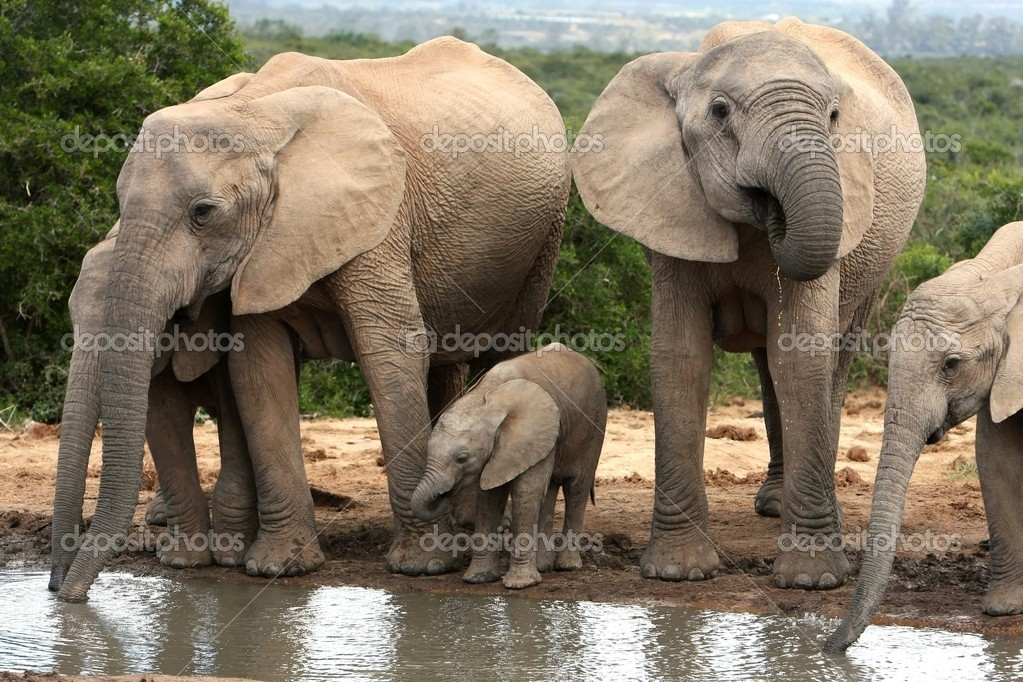 African Elephant Family Group