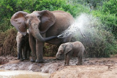 Elephant Spraying Water
