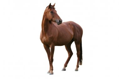 Handsome brown horse isolated on white background stock vector