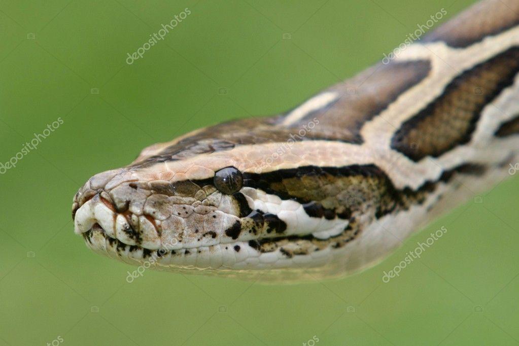 Burmese Python Snake