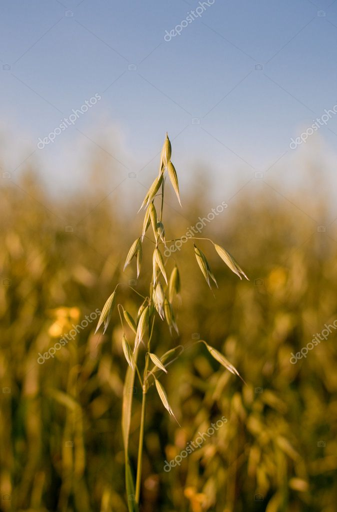 Oat in a cereal field
