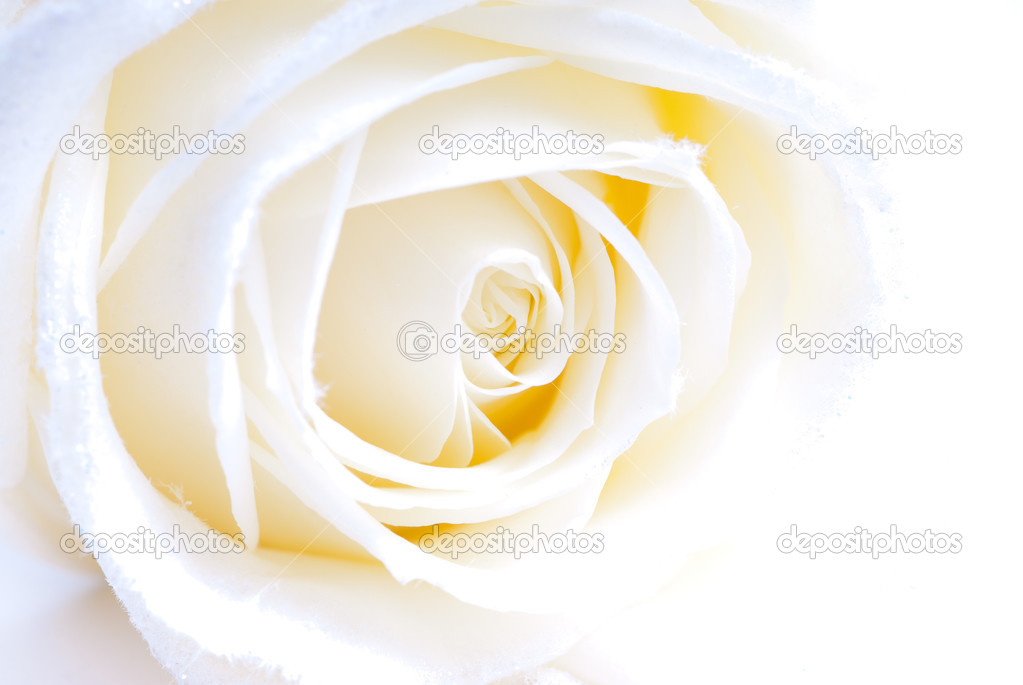 Abstract white rose macro