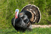 Photo Turkey in meadow