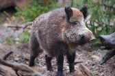 Fotografie Wild boar (lat. Sus scrofa)