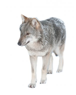 Wolf (lat. Canis lupus)