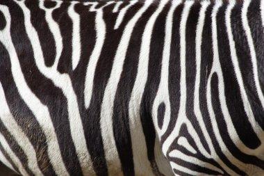 A zebra texture Black and White