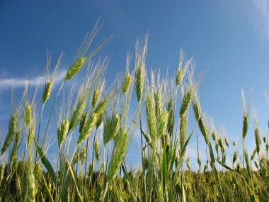 Field of ears of a rye