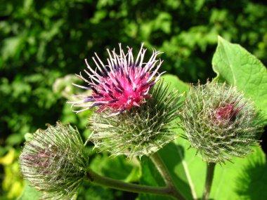 Burdock - a flower of a burdock.