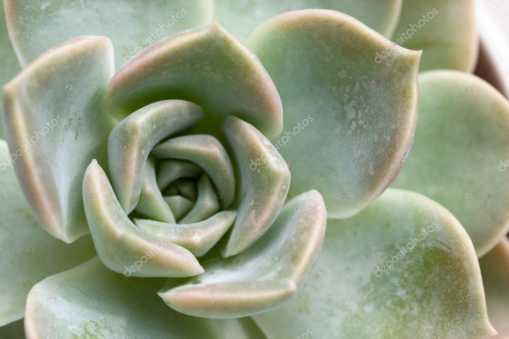Macro of the Succulent plant