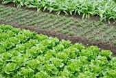 növényi telkek, zöldség