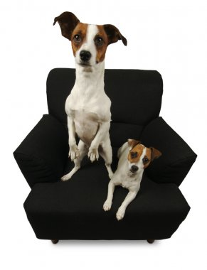 Two Jack Russell Terriers on Chair