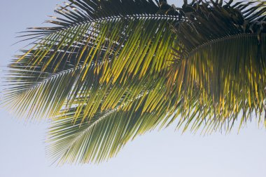 Backlit Palm Leaves on a Summer Day