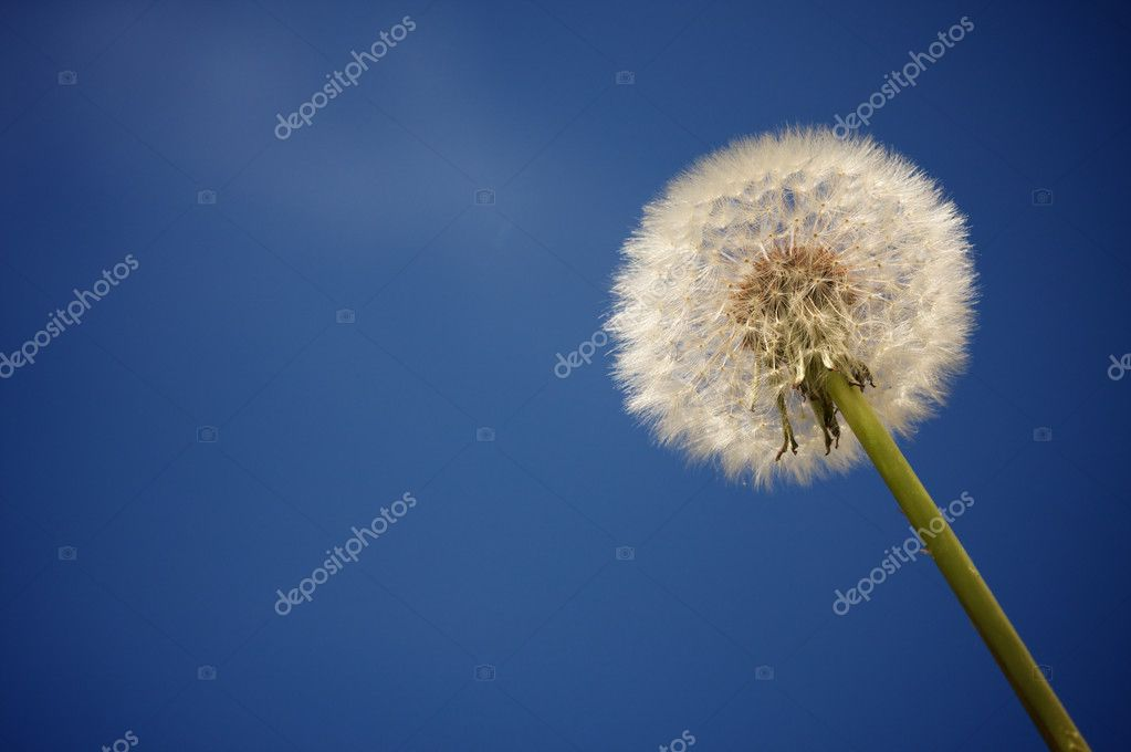 Dandelion Against Deep Blue Sky
