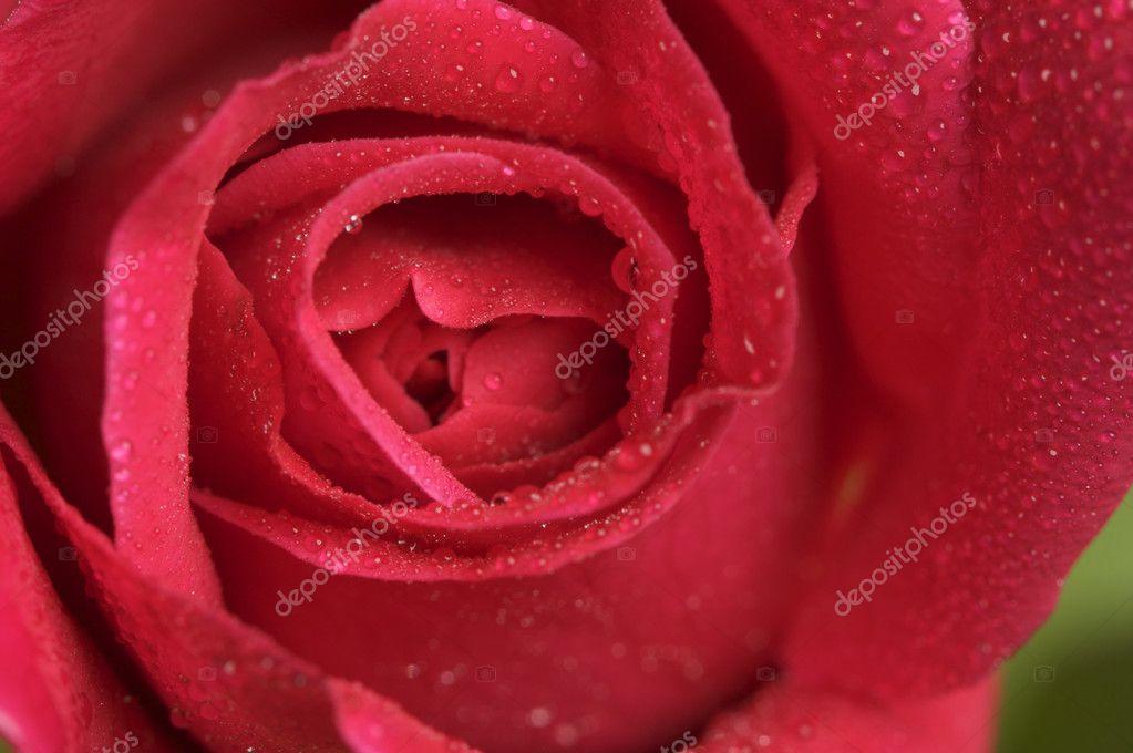 Macro Red Rose Blossom