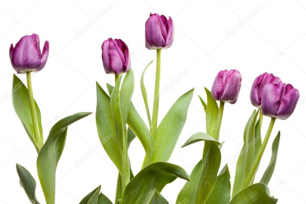 Macro of Purple Tulips with Water Drops