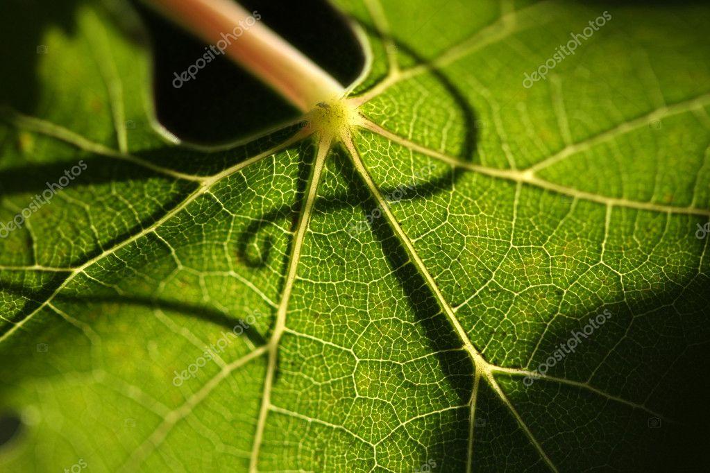 Beautiful Grape Leaf Macro