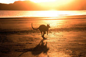 Kangaroo jumping on the beach at sunrise