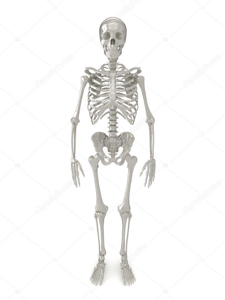 esqueleto vista frontal — Foto de stock © aspect3d #2454568