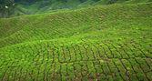 Fotografia coltura di tè a cameron highlands, malaysia